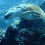 Turtle - Egypt 2014
